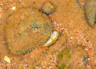 Flohkrebs im Fluss