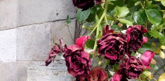 welke rosen